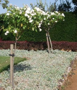 Penshurst Place rose garden - underplanting with stachys