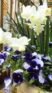 daffodils and pansies in patio container